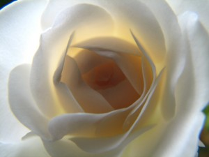 элегантность, цветок, роза, крупно, белый, лерестки, с подсветкой, освещенный