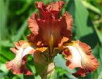 бесплатные фото цветов, free pictures of flowers, Íris