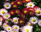 бесплатные фото цветов, free pictures of flowers, Bellis