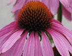 бесплатные фото цветов, free pictures of flowers, Echinacea