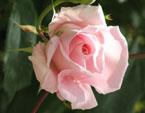 бесплатные фото цветов, free pictures of flowers, Rosa