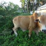 Вьетнам фото корова