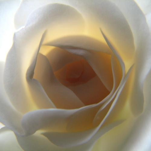 White Rose Interior – Внутри белой розы