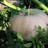 Фото гигантской тыквы с дачи