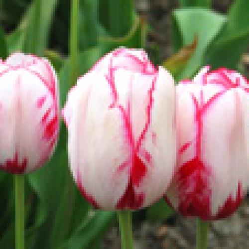 Бесплатные фото цветов (free pictures of flowers)