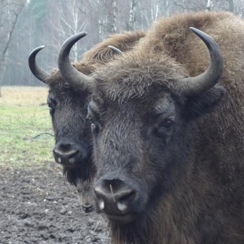 Ездили к зубрам и бизонам в Приокско-Террасный заповедник