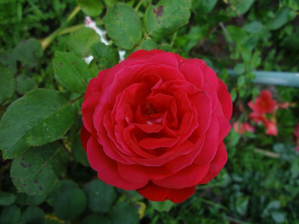 бесплатные фото, фото цветов, розы фото