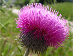 бесплатные фото цветов, free pictures of flowers, Carduus