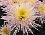 бесплатные фото цветов, free pictures of flowers, Chrysanthemum