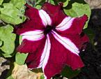 бесплатные фото цветов, free pictures of flowers, Petunia