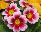 бесплатные фото цветов, free pictures of flowers, Primula