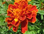 бесплатные фото цветов, free pictures of flowers, Tagetes