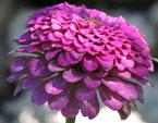 бесплатные фото цветов, free pictures of flowers, Zinnia
