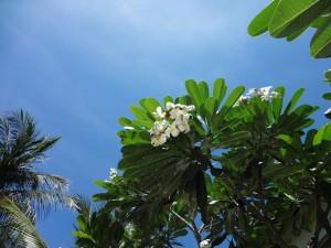 Очередное цветущее дерево во Вьетнаме