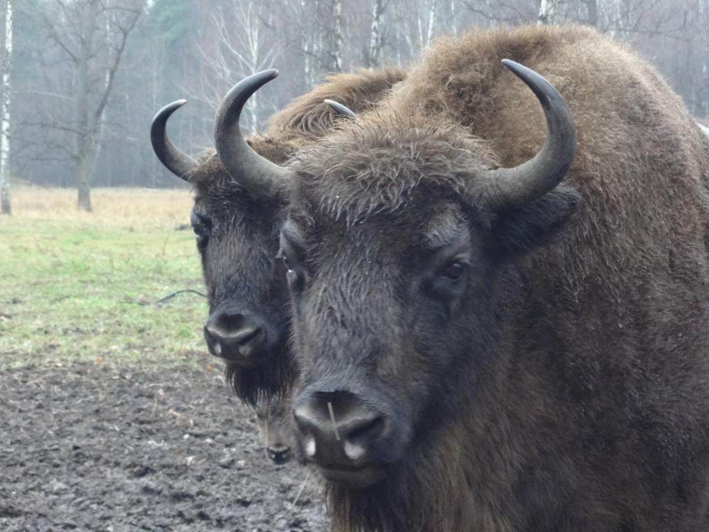 зубры в Приокско Террасном заповеднике, зубр, зубр фото